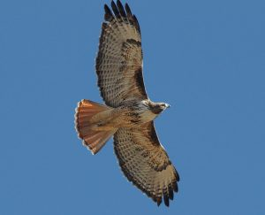 4 hawk