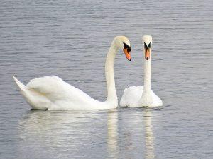 4 mute swan