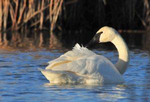 4 trumpeter swan